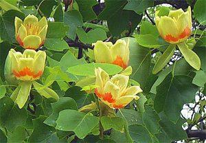 Tree Sale - Tulip Poplar